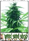 cannabis seeds Super Skunk