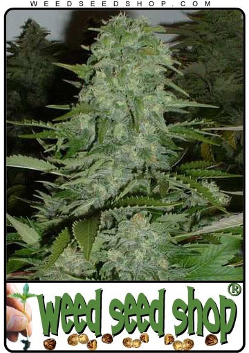 cannabis seeds Chronic