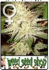 graine cannabis White Widow Femelle