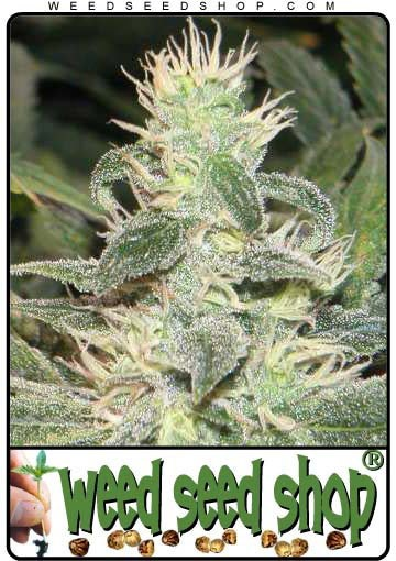 cannabis seeds Mexican Haze
