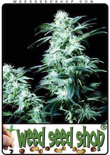 graine cannabis Crystal