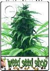 cannabis seeds Super Skunk Feminized