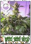 cannabis seeds Top 44 Feminized