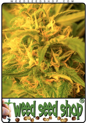 cannabis seeds Northern Lights®