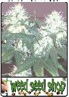 cannabis seeds White Rhino ®