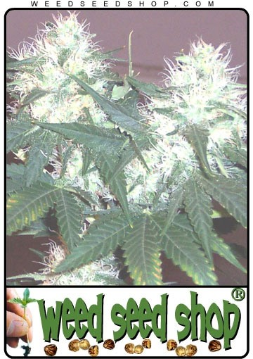 graine cannabis White Rhino ®