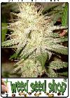 cannabis seeds White Widow
