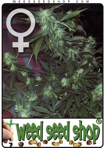 cannabis seeds Ice Feminized