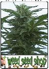 cannabis seeds Hawaii Maui Waui