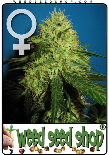 Big Bud Feminized