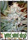 graine cannabis Aurora Indica