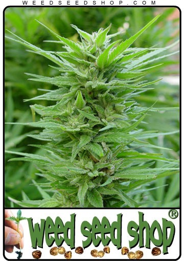 cannabis seeds PPP