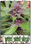 graine cannabis New Purple Power