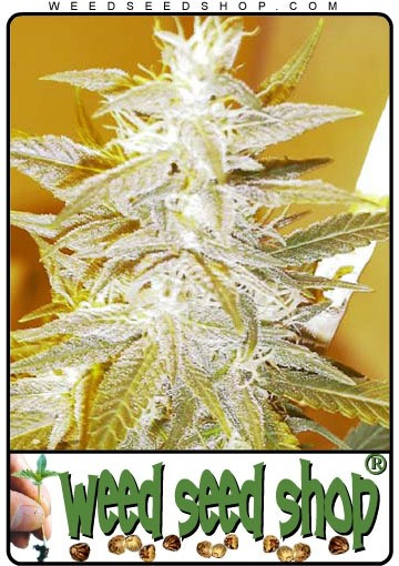 cannabis seeds Swiss Miss