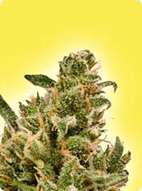 graine cannabis Amnesia
