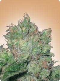 graine cannabis B-52