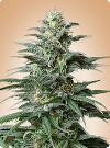 cannabis seeds Big Bud