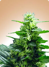 cannabis seeds Citral