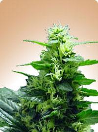 graine cannabis Citral