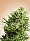 cannabis seeds Four Way Specials