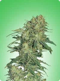graine cannabis Afghan