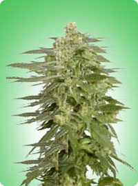 cannabis seeds Northern Light x Shiva