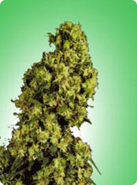 cannabis seeds Skunk nr 1