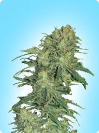 Graine cannabis afghan exterieur for Graine cannabis exterieur