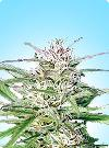 graine cannabis Early Bud
