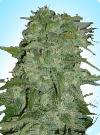 cannabis seeds Early Special