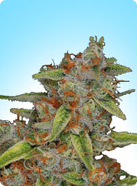 cannabis seeds Original Highway Delight