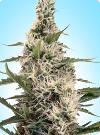 cannabis seeds Swazi x Skunk