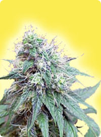 cannabis seeds Feminized Blue Berries