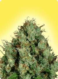 graine cannabis Diesel Femelle