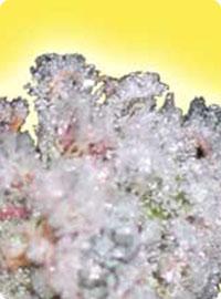 graine cannabis Ice femelle