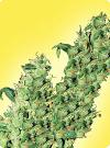 cannabis seeds Feminized Jacky Herer