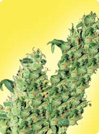 graine cannabis Jacky Herer femelle