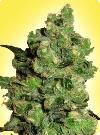 graine cannabis Super Skunk femelle