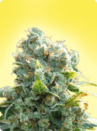 cannabis seeds Female White Widow