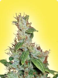 cannabis seeds Feminized Haze