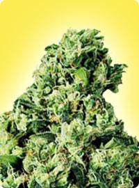 graine cannabis Skunk #1 féminisées