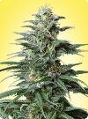 cannabis seeds Big Bud feminized