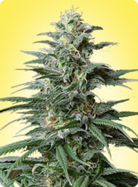 graine cannabis Big Bud femelle