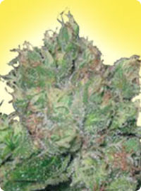 graine cannabis B-52 femelle