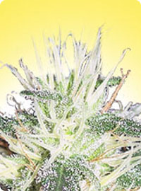 cannabis seeds Feminized Pure Power Plant