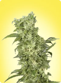 graine cannabis Snow White femelle