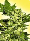 cannabis seeds Lowryder feminized