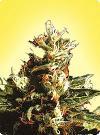 cannabis seeds Northern Pride  (5  female seeds)