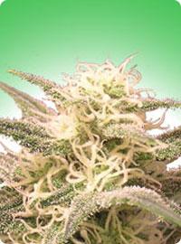 cannabis seeds AK-48