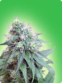 cannabis seeds Blue Berries